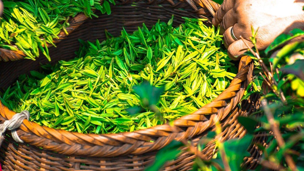 Azorean tea producer looking for agents or distributors