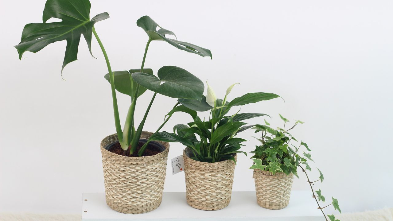 Seeking agents and distributors for energiser for plants